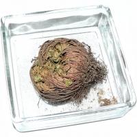 Rose von Jericho mini inklusive Schale