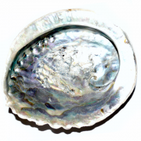 Abalone Muschel 13 - 18 cm 2. Qualität