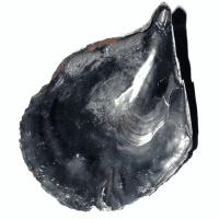 Black Pen Muschel 11 - 16 cm