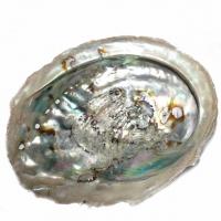 Abalone Muschel natur 10 - 12,5 cm