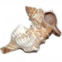 Fasciolaria Trapezium Muschel - Meeresschnecke