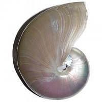 2. Qualität - Nautilus Pearl Muschel