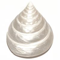 Trocas Pearl Muschel ca. 5 - 6 cm breit