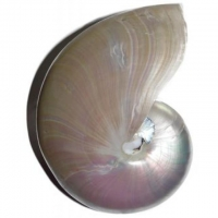 Nautilus Pearl Muschel