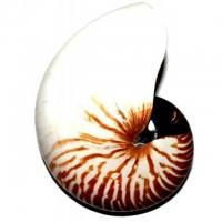 Nautilus Tiger Muschel