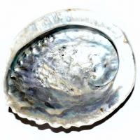 Abalone Muschel natur ca. 15,5-19,5 cm