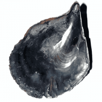 Black Pen Muschel 17 - 21 cm